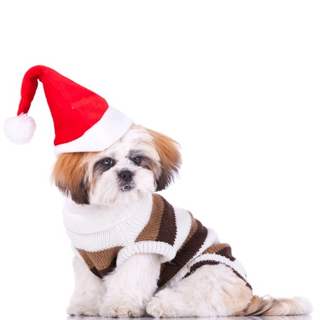 cute shih tzu santa, sitting on a whiate background photo