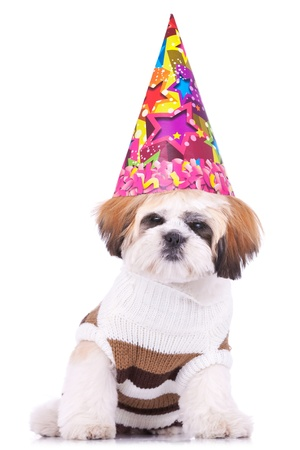 adorable shih tzu puppy wearing a party hat on white background photo