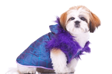 shih tzu: side view of a cute little shih tzu puppy  dressed  like a pimp, on white background