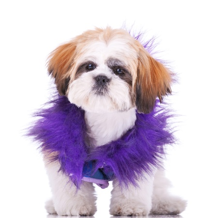 shih tzu: sweet looking shih tzu puppy dressed like a pimp, standing on white background
