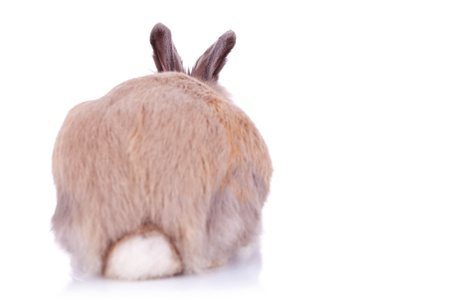 furry tail: back view of a cute brown little rabbit, on white background