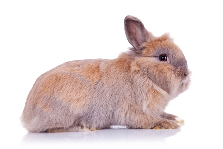 side view of an adorable brown little bunny, on white background photo