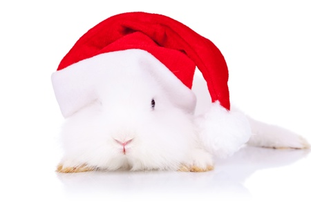 curious little santa bunny looking to the camera on white background photo