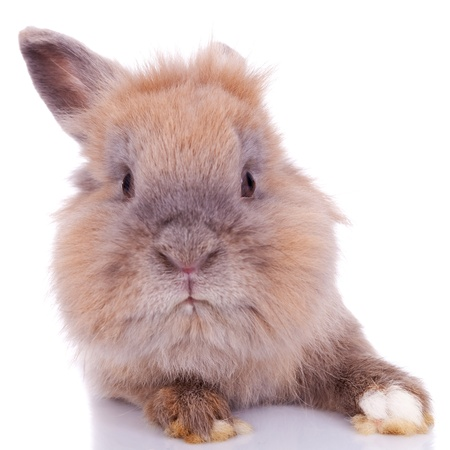 close up picture of a curious little brown rabbit on white background photo