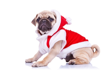 cute pug puppy wearing a santa claus costume on white background - side view photo