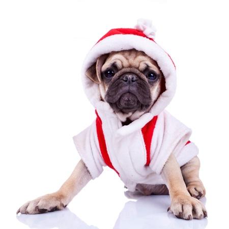 perros vestidos: Vista frontal de un lindo cachorro de pug disfrazado de Santa, en el fondo blanco