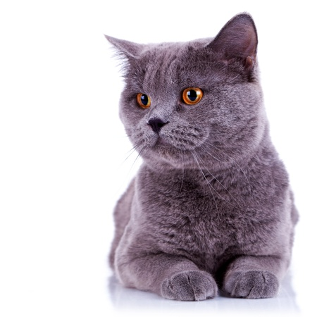 curious big english cat looking at something on white background photo