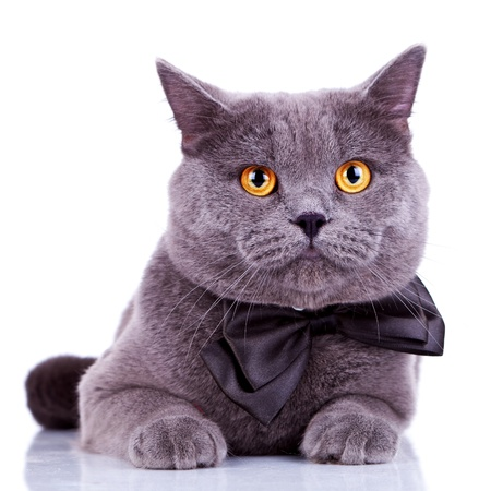 english cat with big orange eyes, wearing a bow tie on white background photo