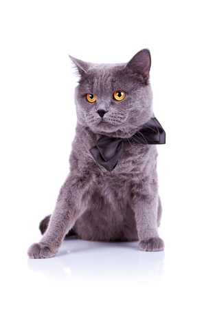 seated big english cat on a white background photo