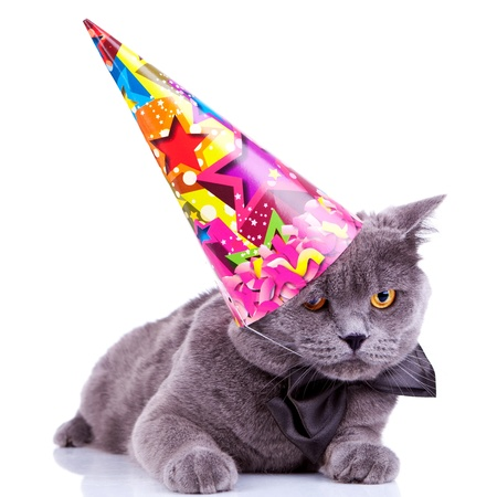 big english party cat wearing a party hat and bow tie on white background photo
