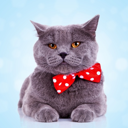 bored big english cat with red bibbon at its neck on blue background