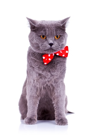 hair bow: seated big english cat wearing a red bow tie  on a white background