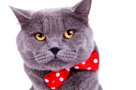 head of a cute big english cat wearing a red bow tie on white background photo