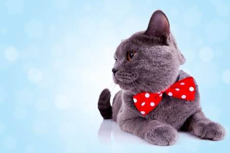 side view of an big english cat with red ribbon at its neck and looking at something over blue background photo