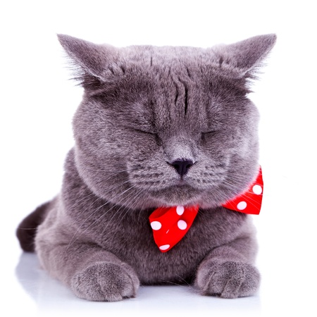 British shorthair grey cat sleeping on white background photo