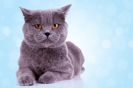 serious english cat looking at the camera on blue background photo