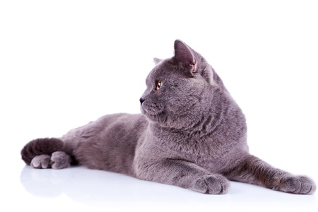 side view of an big english cat looking at something over white background photo