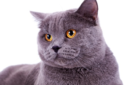 head of a cute big english cat on white background Stock Photo