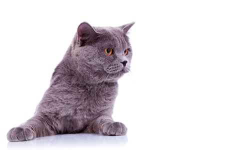 british pussy: curious big english cat looking at something at its left on white background Stock Photo