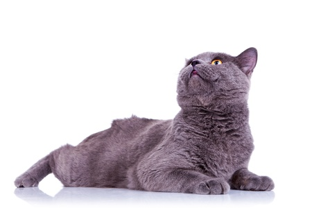 british pussy: side view of an big english cat looking at something up over white background Stock Photo