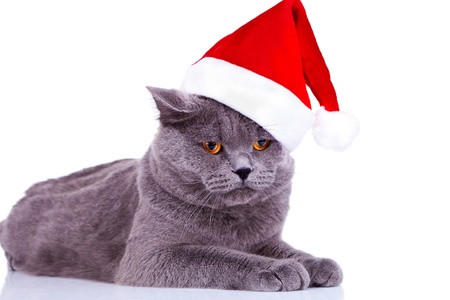 cute big english cat wearing a santa hat on white background photo