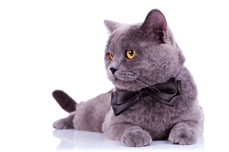 big english cat with a bow tie looking at something at its side on white background photo