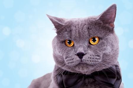 tie bow: capo di un simpatico gattone inglese indossa una cravatta nera su sfondo bianco fiocco