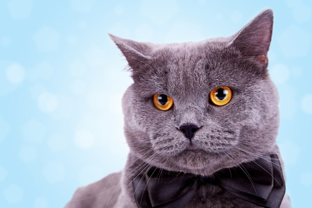 head of a cute big english cat wearing a black bow tie on white background
