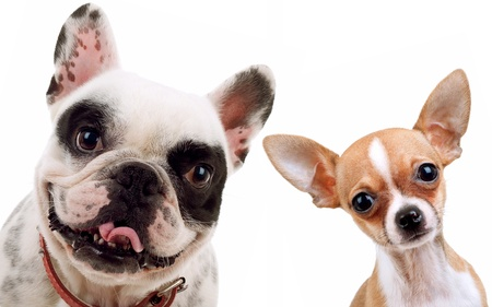 francais: picture of two little dogs - chihuahua and french bull dog looking at the camera Stock Photo