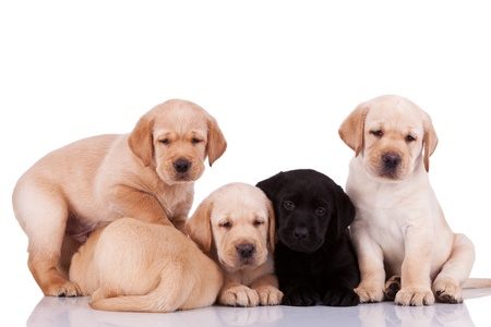 five curious little labrador retriever puppies on white background photo