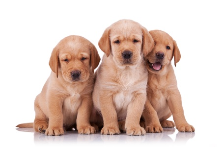 three adorable little labrador retriever puppies  sitting on white background photo