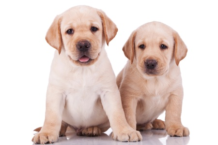 two adorable little labrador retriever puppies, panting on white background photo
