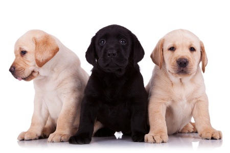 two beige and one black little labrador retriever puppies on white background photo