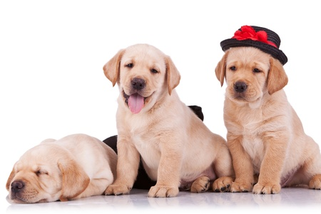 little labrador retriever puppies on white background, one with a hat on and looking at the camera photo