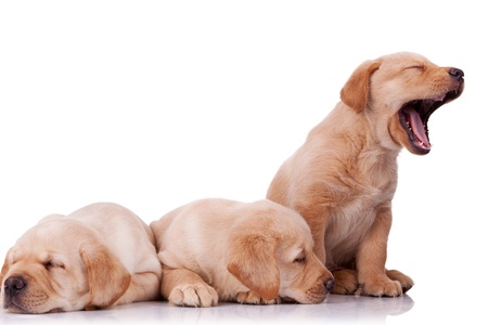 yellow lab: three adorable little labrador retriever puppies, two sleeping and one barking on wite background Stock Photo