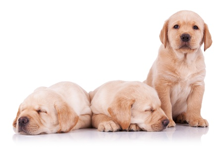 three adorable little labrador retriever puppies, two sleeping and one looking at the camera photo