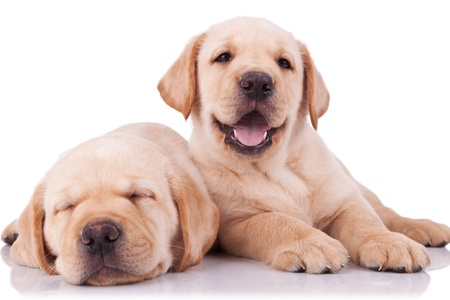 two adorable little labrador retriever puppies, one sleeping and one panting and looking to the camera Stock Photo