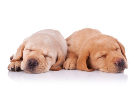 picture of two tired labrador retriever puppies, sleeping on white background photo