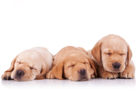 sleepy: three adorable little labrador retriever puppies  sleeping on white background
