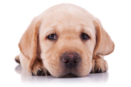 closeup picture of a sad little labrador retriever puppy, on white background photo