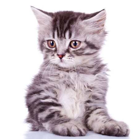 close up image of a cute silver tabby baby cat on white background Stock Photo - 12076929