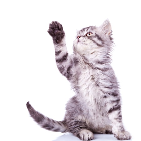 furry tail: cute silver tabby cat reaching for something with its paw over white