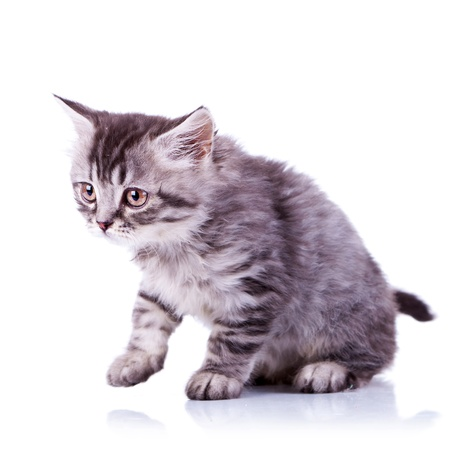 cute baby tabby cat getting ready for a walk on white background Stock Photo - 12076808