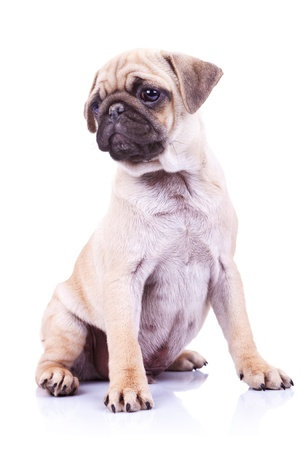 wrinkely: adorable mops puppy, sitting and looking at something to its side. cute pug puppy dog looking to a side on white background Stock Photo