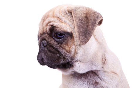 wrinkely: head of a mops puppy dog on white background. closeup picture of a cute pugs face, looking to a side Stock Photo