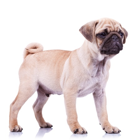 carlin: full body picture of an alert mops little dog looking at something. standing pug puppy dog looking to a side on white background