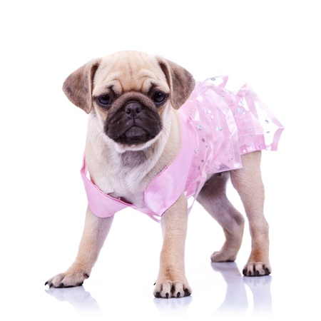 curious pug puppy dog wearing pink dress, standing on white background. curious little mops princess  Stock Photo - 12581575