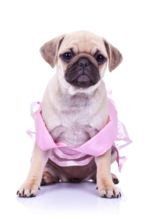 seated pug puppy dog wearing a pink dress on white background. cute little mops puppy princess looking at the camera Stock Photo - 12581713