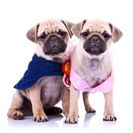 adorable princess and champion pug puppy dogs on white background. the champion mops puppy is sitting and the princess is standing, both looking very curious Stock Photo - 12581715