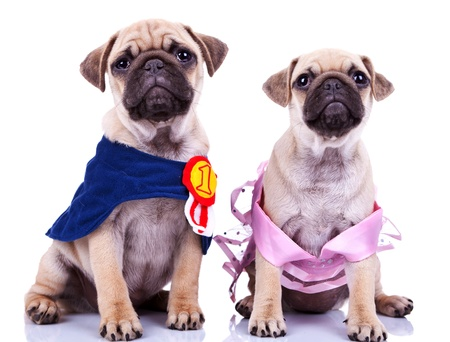 curious princess and champion pug puppy dogs looking at something while sitting on white background. couple of adorable mops puppies, one wearing a champions cape with a number one ribbon and the other wearing a pink princess dress photo